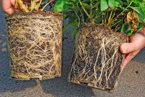 Assist your root-bound plants