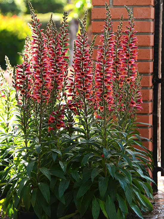 Digitalis 'Foxlight'