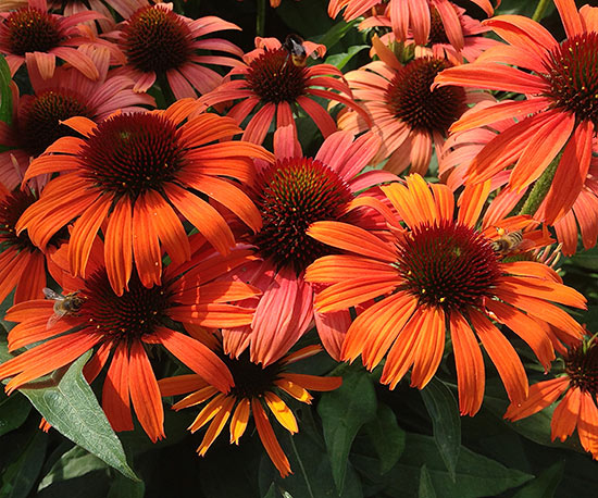 Echinacea Butterfly 'Orange Skipper'