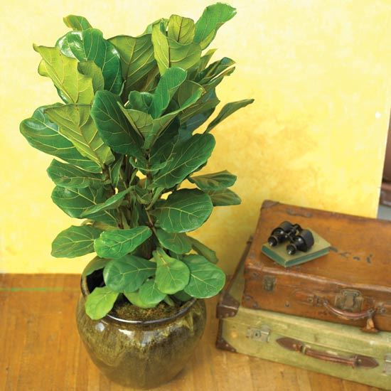 20 best house plants you can grow - Big leaf indoor plants ...