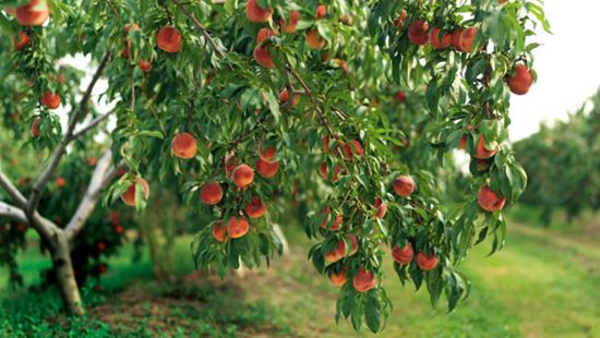 10 Amazing Fruit Trees for Home Gardens
