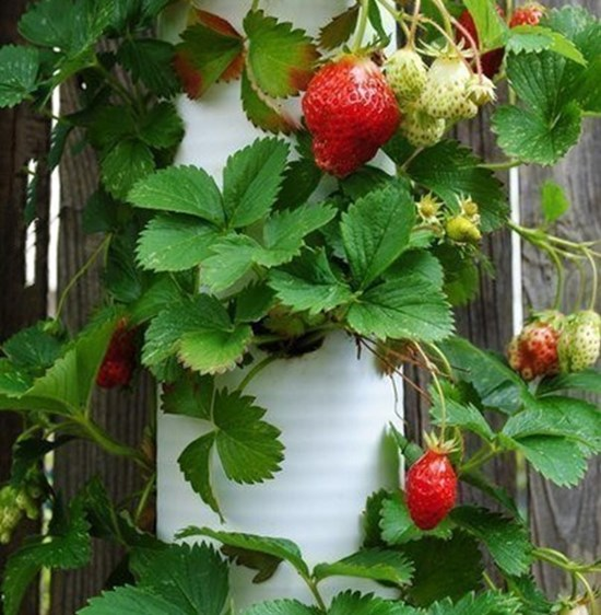 PVC Strawberry Planter Tower