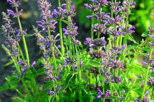 20 low maintenance plants for front garden for Low maintenance perennial bushes