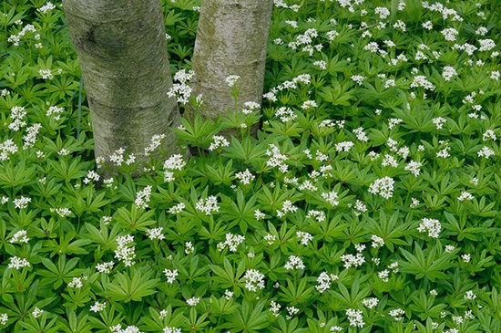 beautiful ground cover plants, Natural flower