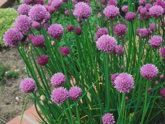 3) Chives Herbs