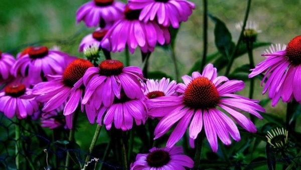 1-Cone flowers