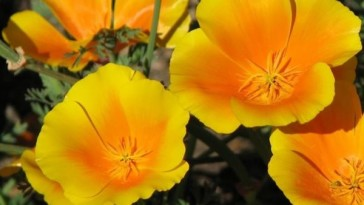 4-California poppy