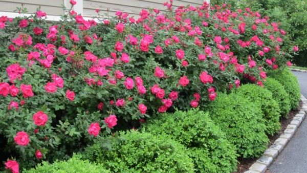 7-Hedge roses
