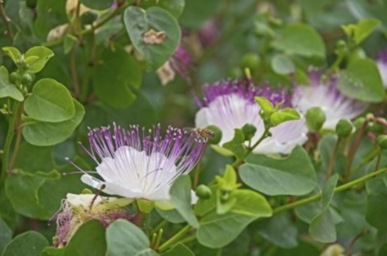 Capers-vegetable-Patch